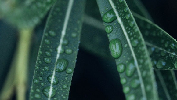 Green leaves with raindrops